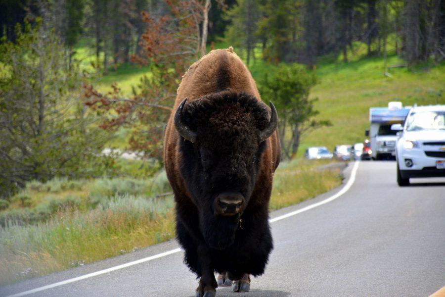 Še en bizon – kopija