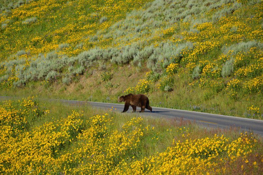 Ko ti grizli prečka cesto